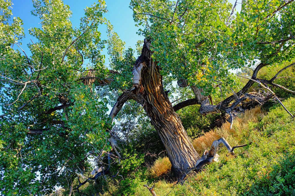 Over 200 year old cottonwood tree